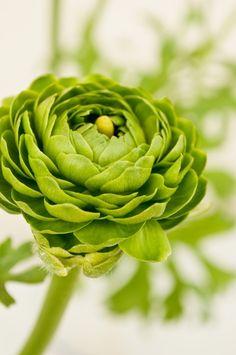 Green Renoncules Roses @}-,-;--
