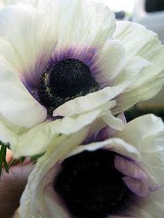 front gardens, garden ideas, anemone garden, color schemes, color combos, flower paintings, anemonebeauti flower, flower beds, anemones