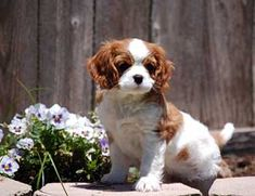 Sonesta Cavaliers - Quality Cavalier King Charles Spaniels - Our Puppies