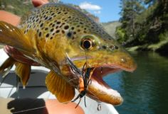 The 8th annual WRFlyfisher #GreenRiver #Streamer school is back! The class will enable any #angler to master skills necessary to achieve streamer greatness. Matt Drahos will be running both. 1 in April & 1 in May. It's $400/person, w/ 50% deposit to hold your spot.  Additional questions? Stop by and ask! Or, get more details here: https://www.westernriversflyfishing.com/Green-River-Streamer-Fishing-School?utm_source=Pinterest&utm_medium=Social&utm_campaign=WRFF #flyfishing #cicada