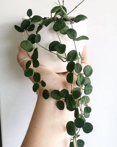 hoya serpens just getting good 🌿👌 excited to have some of these fresh in the greenhouse with our new hoya collection // 📷 @botanicalblissfulness via @thehoyacollective