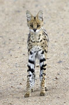 Africa | Serval Cat. Serengeti National Park, Tanzania