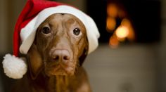 This is one lovely Christmas dog! #Vizsla #Dogs