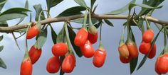 Benefits Of Goji Berries, The Little Red Superfood- the most nutrtionally rich berry-fruit on the planet...according David Wolfe