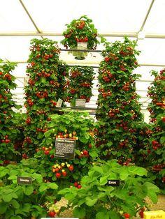 strawberries, grown vertically