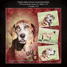 Cheech is an adoptable Plott Hound Dog in Mount Gilead, OH. Cheech arrived here as a stray. He is a bit shy and afraid to walk on the concrete floors. He loves attention and will nudge your hand or ...