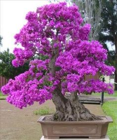 plant, bonsai trees, bougainvillea, purple, color, art, garden, flower, japanes bonsai