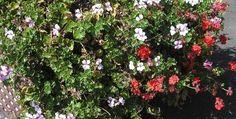 Geraniums make colourful border plants