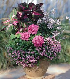 Geranium - (Pelargonium) Magilla Perilla - (Red Perilla) Gaura -(Gaura lindheimeri) Angelonia -(Angelonia angustifolia) Twinspur - (Diascia barberae)w