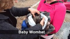 Baby Wombat in a bag (gif)