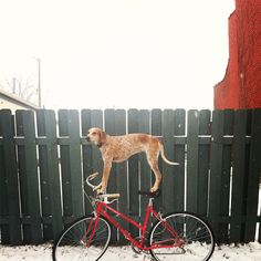 Maddie the coonhound. His guy has he dog stand on all kinds of crazy things and places! She like to balance!