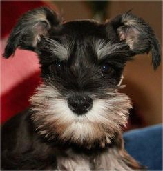 Schnauzer of the Month via Schnauzers-Rule.com