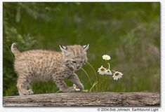 Baby Bobcat with Flowers