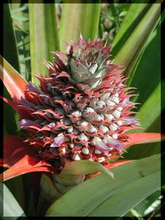 Grow a Pineapple from Grocery Store Fruit