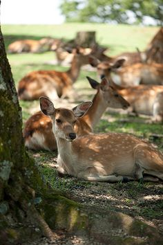 Deer in Nara Park, Japan 奈良公園