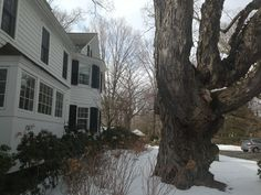 Tree Warden: Oenoke Maple Is New Canaan's Largest Tree - New Canaan, CT Patch