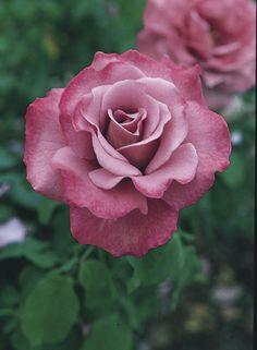 romanc, floribunda rose, angel face rose, roses, pink rose