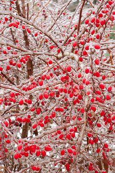 Icy Berries!