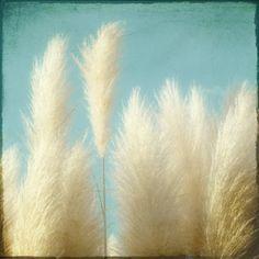 Ornamental Grass Photograph, soft feathery home decor tan teal blue sky 12x12 print - Soft