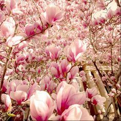 #spring #magnolias
