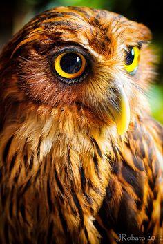 Amazing wildlife - Philippine Eagle Owl photo #owls