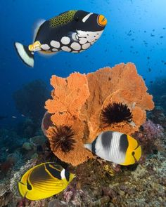 Butterflyfish and triggerfish