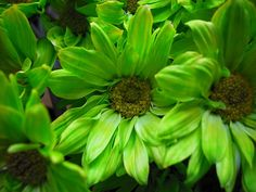Green Daisies by planetschwa, via Flickr