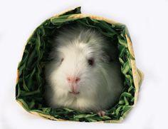 {#Guinea #Pig Roll-ups} eep!