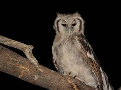 Verreuax's Eagle Owl (Bubo lacteus). Photo by Alan Van Norman.