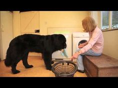 Chloe The Newfoundland - Personal Assistant and Home Help