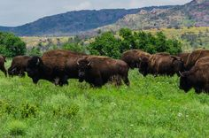 Buffalo Herd in the Wichita Mountain Wildlife Refuge, Oklahoma
