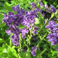 Duranta Plant Mix Purple White