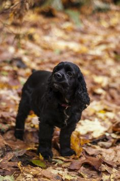 autumn  and a black cocker spaniel