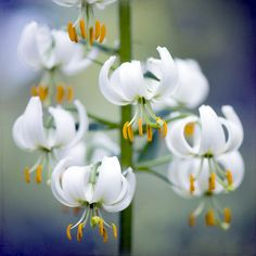 Little Lilies-The lily symbolizes purity and the Virgin Mary