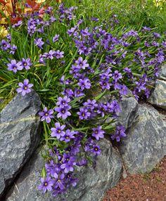 "Sisyrinchium bellum 'North Coast'  ""Blue-Eyed-Grass"""