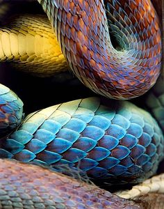 snake / blue+ yellow + red