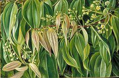cinnamon fragranc, cinnamon tree