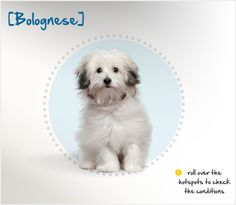 The Bolognese, named for the northern Italian city of Bologna where he originated, is closely related to both the Bichon Frise and Havanese. Already known in the Roman era, the Bolognese appears prominently on lists of gifts to and from powerful men, including Cosimo de Medici and King Philipe II of Spain, and he even appears in works by Titian and Goya #dog-breed