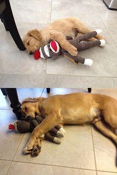 nap time, die hard, sock monkeys, golden retrievers, pet