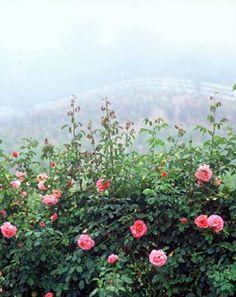 Rose Story Farm, Carpinteria, CA