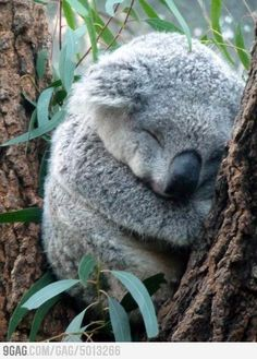 Just a Koala sleeping