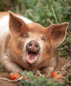 Happy Pig at Pasture 42, Guinda, CA | Photograph by Jonathan H. Lee | www.subtledream.com