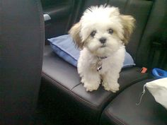My adorable puppy, Simba. He`s a teddy bear zuchon.