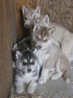 Light red and silver siberian husky puppies!