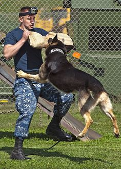 #Military #police #working #dog Jimmy attacks Master-at-Arms 2nd Class William Bryan during controlled aggression training exercises at Joint Base Pearl Harbor-Hickam, April 10. MWDs are used to apprehend suspects and to detect explosives and narcotics while searching buildings, ships and submarines.
