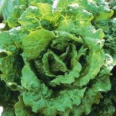 Nevada summer crisp lettuce seeds - Garden Seeds - Vegetable Seeds. One of Fine Gardening's 10 Foolproof Veggies