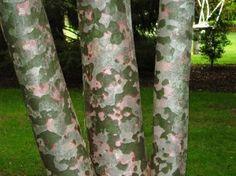 Bark of Lacebark Pine