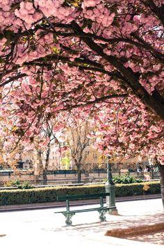 Cherry blossoms in a Paris park
