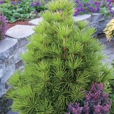 Mitsch Select Dwarf Japanese Umbrella Pine 4-5' we had two of these at our former home- miss them! They were so delicate looking.