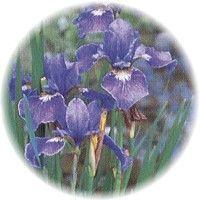 Herbs gallery - Blue Flag
